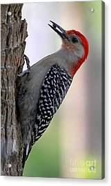 Acrylic Print featuring the photograph Red Bellied Woodpecker  by Meg Rousher