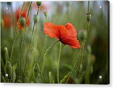 Red Poppy Flowers Acrylic Print