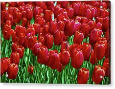 Acrylic Print featuring the photograph Red Tulips  by Allen Beatty