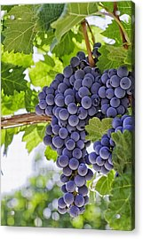 Red Wine Grapes Acrylic Print