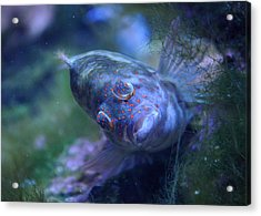 Acrylic Print featuring the photograph Redspotted Hawkfish  by Savannah Gibbs