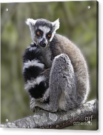 Ring-tailed Lemur Acrylic Print by Liz Leyden