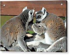Ring Tailed Lemurs Acrylic Print by George Atsametakis