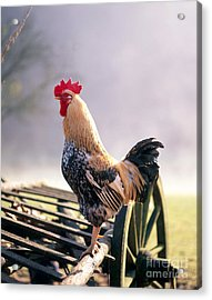 Rooster Acrylic Print by Hans Reinhard