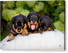 3 Rottweiler Puppies Acrylic Print by James O Thompson