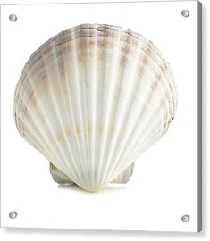 Scallop Shell Acrylic Print by Science Photo Library