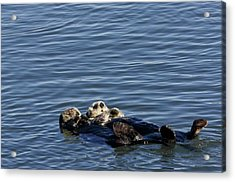 Sea Otters Acrylic Print by Bob Gibbons/science Photo Library