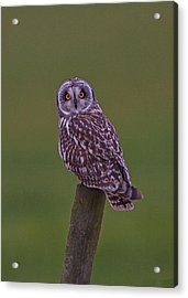 Acrylic Print featuring the photograph Short Eared Owl  by Paul Scoullar