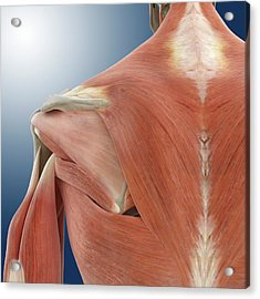 Shoulder And Back Anatomy Acrylic Print
