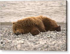 Sleeping Bear  Acrylic Print