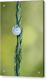 Snail On Grass Acrylic Print