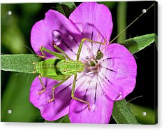 Speckled Bush-cricket On Corncockle Acrylic Print by Bob Gibbons