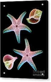 Starfish And Marine Molluscs Acrylic Print by D Roberts
