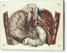 Stomach And Liver Acrylic Print by Science Photo Library