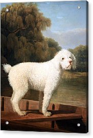Stubbs' White Poodle In A Punt Acrylic Print by Cora Wandel