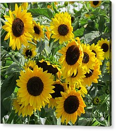 Sunflower Field Acrylic Print by France Laliberte