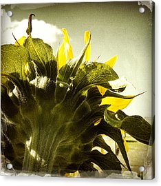 Sunflower Acrylic Print by Les Cunliffe