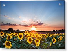 Sunflower Summer Sunset Landscape With Blue Skies Acrylic Print by Matthew Gibson