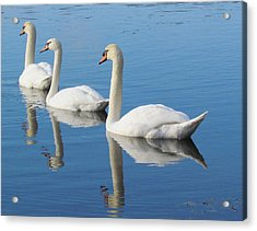 3 Swans A-swimming Acrylic Print