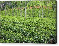 Tea Plants (camellia Sinensis Acrylic Print