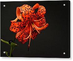 Tiger Lily Acrylic Print by Sandy Keeton