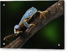 Tree Frog Climbing Acrylic Print by Dirk Ercken