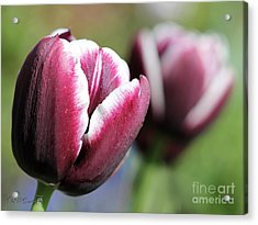 Triumph Tulip Named Jackpot Acrylic Print by J McCombie