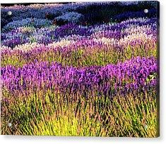 Usa, Washington State, Sequim, Lavender Acrylic Print