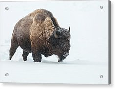 Usa, Wyoming, Yellowstone National Park Acrylic Print by Jaynes Gallery