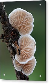 Variable Oysterling Fungus Acrylic Print