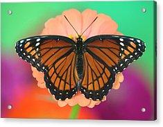 Viceroy Butterfly A Mimic Acrylic Print