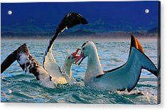 Wandering Albatross Acrylic Print by Amanda Stadther