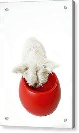 West Highland White Terrier Acrylic Print by Jean-Michel Labat