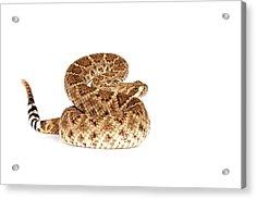 Western Diamondback Rattlesnake Acrylic Print by John Bell