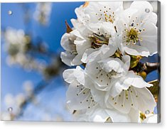 White Cherry Blossoms Blooming In The Springtime Acrylic Print by Nila Newsom