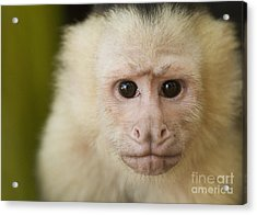 White-faced Capuchin Acrylic Print