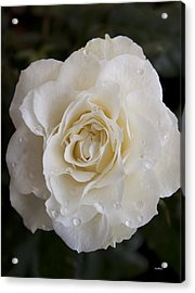 White Rose Acrylic Print by Ivete Basso Photography