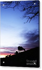 Winter Lambs And Ewes Sunrise Acrylic Print by Thomas R Fletcher