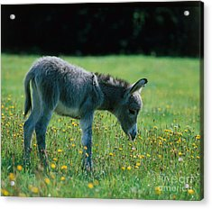 Young Donkey Acrylic Print