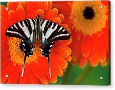 Zebra Swallowtail Butterfly, Eurytides Acrylic Print