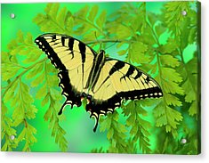 Eastern Tiger Swallowtail Butterfly Acrylic Print by Darrell Gulin