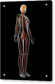 Female Nervous System Acrylic Print by Sebastian Kaulitzki