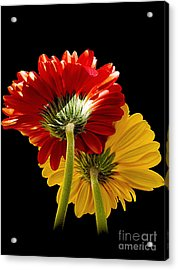 Acrylic Print featuring the photograph 3093-two Gerbers by Elvira Ladocki