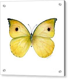 32 Dercas Lycorias Butterfly Acrylic Print by Amy Kirkpatrick