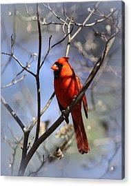 3477-006- Northern Cardinal Acrylic Print