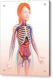 Human Internal Organs Acrylic Print by Pixologicstudio/science Photo Library