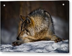 Timber Wolf Pictures Acrylic Print