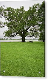 350 Year Old Willow-oak Of Shirley Acrylic Print