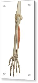 Human Arm Muscles Acrylic Print by Sciepro