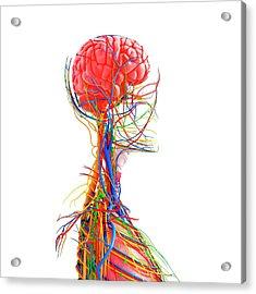 Human Anatomy Acrylic Print by Pixologicstudio/science Photo Library